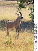 Roan antelope (Hippotragus equinus) Mlilwane Wildlife Sanctuary, Swaziland. Стоковое фото, фотограф Mark Carwardine / Nature Picture Library / Фотобанк Лори