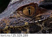 Dwarf caiman (Paleosuchus palpebrosus) juvenile, close-up of eye, captive, from South America. Стоковое фото, фотограф Mark Carwardine / Nature Picture Library / Фотобанк Лори