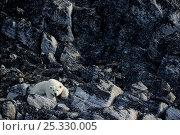 Купить «Polar bear (Ursus maritimus) male resting on rocks, Monumental Island close to Baffin island. Nunavut, Canada,  August 2010», фото № 25330005, снято 26 апреля 2019 г. (c) Nature Picture Library / Фотобанк Лори