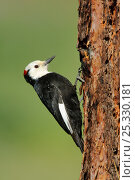 Купить «White-headed Woodpecker (Picoides albolarvatus) male on trunk of tree, Yakima County, Washington, USA, May.», фото № 25330181, снято 19 августа 2018 г. (c) Nature Picture Library / Фотобанк Лори
