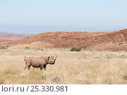 Купить «Black rhino bull, (Diceros bicornis) standing in desert landscape, Kunene region, Namibia», фото № 25330981, снято 18 августа 2018 г. (c) Nature Picture Library / Фотобанк Лори