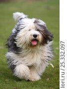 Купить «Bobtail / Old English Sheepdog running towards camera, panting.», фото № 25332097, снято 28 мая 2018 г. (c) Nature Picture Library / Фотобанк Лори