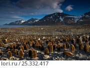 King penguin colony (Aptenodytes patagonicus) with many one year old chicks, St Andrews Bay, South Georgia Island, Southern Ocean, Antarctic Convergence. Стоковое фото, фотограф Ingo Arndt / Nature Picture Library / Фотобанк Лори