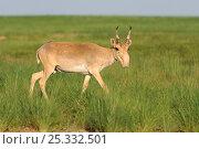 Купить «Male Saiga antelope (Saiga tatarica) in the steppe of Cherniye Zemly (Black Earth) Nature Reserve, Kalmykia, Russia, April 2009», фото № 25332501, снято 22 июля 2018 г. (c) Nature Picture Library / Фотобанк Лори