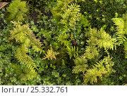 Купить «Feather moss (Thuidium tamariscum) Kingcombe, Dorset, UK», фото № 25332761, снято 15 ноября 2018 г. (c) Nature Picture Library / Фотобанк Лори