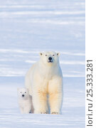 Купить «Polar bear (Ursus maritimus) sow with her  cub outside their den in late winter, Arctic coast of Alaska, USA», фото № 25333281, снято 6 июня 2020 г. (c) Nature Picture Library / Фотобанк Лори
