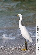 Купить «Snowy egret (Egretta thula) standing on beach,  Sanibel Island, Florida, USA», фото № 25334981, снято 26 марта 2019 г. (c) Nature Picture Library / Фотобанк Лори