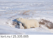 Купить «Polar bear (Ursus maritimus) sow with cub drinking ice crystals  formed on top of the snow, outside their den in winter, Arctic coast of Alaska», фото № 25335005, снято 6 июня 2020 г. (c) Nature Picture Library / Фотобанк Лори