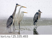 Купить «Great egrets (Ardea alba) and Grey herons (Ardea cinerea) standing on frozen water's edge, in snow storm, Lake Csaj, Kiskunsagi National Park, Hungary», фото № 25335493, снято 19 мая 2019 г. (c) Nature Picture Library / Фотобанк Лори