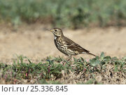 Купить «Buff bellied pipit {Anthus rubescens japonicus} in field, Oman, January», фото № 25336845, снято 25 сентября 2018 г. (c) Nature Picture Library / Фотобанк Лори