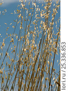 Купить «Wild Oat (Avena fatua) flowering, an annual often found as an unwanted weed amongst commercial crops, Italy», фото № 25336853, снято 22 июля 2018 г. (c) Nature Picture Library / Фотобанк Лори
