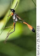 Купить «Sand wasp (Ammophila heydenii) Umbria, Italy», фото № 25337033, снято 17 декабря 2018 г. (c) Nature Picture Library / Фотобанк Лори
