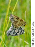 Купить «Marbled white butterflies (Melanargia galathea) mating on grass stem, female above, male below. Wiltshire, UK, June.», фото № 25337089, снято 14 ноября 2018 г. (c) Nature Picture Library / Фотобанк Лори