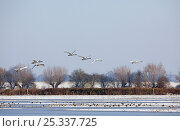 Купить «Small flock of Bewick's / Tundra swans (Cygnus columbianus) in flight over snow covered field, Gloucestershire, England», фото № 25337725, снято 16 июня 2020 г. (c) Nature Picture Library / Фотобанк Лори