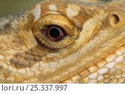 Купить «Close up of eye of Bearded dragon lizard (Amphibolurus barbatus) controlled conditions, native to Australia», фото № 25337997, снято 3 апреля 2020 г. (c) Nature Picture Library / Фотобанк Лори