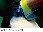 Купить «Close up of beak of Red billed toucan (Ramphastos tucanus) controlled conditions», фото № 25338001, снято 18 июня 2019 г. (c) Nature Picture Library / Фотобанк Лори