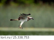 Купить «Osprey (Pandion haliaetus) in flight with claws extended, Germany», фото № 25338753, снято 18 июля 2018 г. (c) Nature Picture Library / Фотобанк Лори