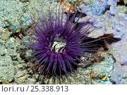 Купить «Tube anemone (Cerianthus sp) lives on sandy substrate in a sturdy, parchment-like tube of its own making in which it can retract suddenly. Rinca, Komodo National Park, Indonesia», фото № 25338913, снято 21 января 2018 г. (c) Nature Picture Library / Фотобанк Лори