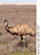 Купить «Emu (Dromaius novaehollandiae) walking in open scrubland, Mungo National Park, New South Wales, Australia», фото № 25339137, снято 20 августа 2018 г. (c) Nature Picture Library / Фотобанк Лори