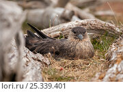 Lonnberg's skua (Stercorarius antarcticus lonnbergi) sitting on nest near Ushuaia, Beagle Channel, Tierra del Fuego, Argentina. Стоковое фото, фотограф Doug Allan / Nature Picture Library / Фотобанк Лори