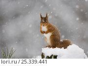 Купить «Red squirrel (Sciurus vulgaris) sitting on snow covered tree stump, Glenfeshie, Cairngorms NP, Scotland, February 2009», фото № 25339441, снято 29 февраля 2020 г. (c) Nature Picture Library / Фотобанк Лори