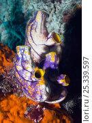 Купить «Tunicate / Sea squirt (Polycarpa aurata) Misool, Raja Ampat, West Papua, Indonesia.», фото № 25339597, снято 19 августа 2018 г. (c) Nature Picture Library / Фотобанк Лори