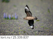 Great skua (Stercorarius / Catharacta skua) flying low across tundra, Iceland, June. Стоковое фото, фотограф Hanne & Jens Eriksen / Nature Picture Library / Фотобанк Лори