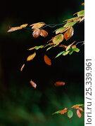 European beech trees (Fagus sylvatica) falling in autumn, UK. Стоковое фото, фотограф Stephen Dalton / Nature Picture Library / Фотобанк Лори