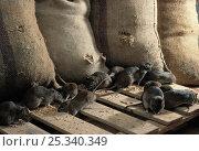 Купить «Brown rats feeding in grain store (Rattus norvegicus) UK, controlled conditions», фото № 25340349, снято 16 октября 2018 г. (c) Nature Picture Library / Фотобанк Лори