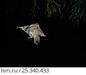 Купить «Northern Flying squirrel (Glaucomys sabrinus) gliding (Native to North America) controlled conditions», фото № 25340433, снято 25 мая 2019 г. (c) Nature Picture Library / Фотобанк Лори