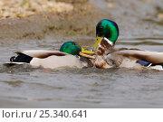Купить «Two drake Mallard ducks (Anas platyrhynchos) fighting on water, England, UK», фото № 25340641, снято 19 сентября 2019 г. (c) Nature Picture Library / Фотобанк Лори