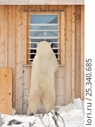 Купить «Polar bear (Ursus maritimus) on hind legs, looking through cabin window, Manitoba, Canada», фото № 25340685, снято 21 апреля 2019 г. (c) Nature Picture Library / Фотобанк Лори