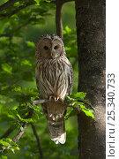 Купить «Ural owl (Strix uralensis) perched in oak tree, Germany», фото № 25340733, снято 21 ноября 2018 г. (c) Nature Picture Library / Фотобанк Лори
