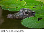 West African Dwarf Crocodile (Osteolaemus tetraspis) in water, captive, from West and Central Africa, Vulnerable Species. Стоковое фото, фотограф Rod Williams / Nature Picture Library / Фотобанк Лори