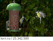 Купить «Blue tits (Parus caeruleus) feeding at nut feeder, Great tit (Parus major) flying to feeder, UK», фото № 25342589, снято 25 апреля 2018 г. (c) Nature Picture Library / Фотобанк Лори