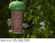 Купить «Blue tits (Parus caeruleus) feeding at nut feeder, another flying to feeder, UK», фото № 25342593, снято 18 октября 2018 г. (c) Nature Picture Library / Фотобанк Лори