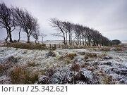 Купить «Beech hedge at Alderman's Barrow Allotment on a snowy winter day, Exmoor National Park, Somerset, England. January 2009», фото № 25342621, снято 19 августа 2018 г. (c) Nature Picture Library / Фотобанк Лори