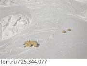 Female Polar bear (Ursus maritimus) with two young cubs, during filming for BBC series Planet Earth, Kong Karls Land, Svalbard Archipelago, Norwegian Arctic. Стоковое фото, фотограф Doug Allan / Nature Picture Library / Фотобанк Лори