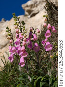 Купить «Foxgloves (Digitalis minima) in flower, Menorca, Spain, May», фото № 25344653, снято 22 июля 2018 г. (c) Nature Picture Library / Фотобанк Лори