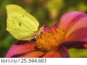 Бабочка лимонница. Стоковое фото, фотограф Вера Чумакова / Фотобанк Лори