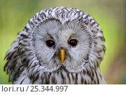 Купить «Head portrait of Ural owl (Strix uralensis) captive, France», фото № 25344997, снято 17 января 2019 г. (c) Nature Picture Library / Фотобанк Лори