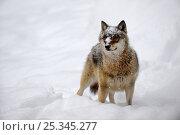 Купить «Portrait of European grey wolf (Canis lupus)standing in deep snow, captive. Bayerischerwald National Park, Germany.», фото № 25345277, снято 20 февраля 2020 г. (c) Nature Picture Library / Фотобанк Лори