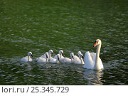 Купить «Mute swan with cygnets following (Cygnus olor) on water,  France», фото № 25345729, снято 6 августа 2020 г. (c) Nature Picture Library / Фотобанк Лори