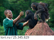 Купить «Rescued chimpanzees (Pan troglodytes) playing with  Bruce Ainebyona (Caretaker) Ngamba Island Chimpanzee Sanctuary, Uganda, Africa. Captive, June 2009...», фото № 25345829, снято 21 сентября 2019 г. (c) Nature Picture Library / Фотобанк Лори