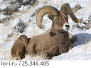 Купить «Bighorn sheep (Ovis canadensis) ram lying in snow, Wild River Range, Wyoming, USA, January», фото № 25346405, снято 21 июня 2019 г. (c) Nature Picture Library / Фотобанк Лори