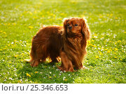 Купить «Cavalier King Charles Spaniel, ruby, on lawn», фото № 25346653, снято 26 марта 2019 г. (c) Nature Picture Library / Фотобанк Лори