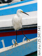 Купить «Little egret (Egretta garzetta) standing on gunwale of a moored fishing boat. Danshuei river estuary, Danshuei / Danshui, Taiwan. September 2009», фото № 25347141, снято 20 октября 2018 г. (c) Nature Picture Library / Фотобанк Лори