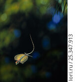 Купить «Flying lizard (Draco volans) gliding, controlled conditions, from Indonesia», фото № 25347913, снято 26 марта 2020 г. (c) Nature Picture Library / Фотобанк Лори
