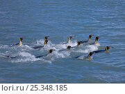 King Penguins (Aptenodytes patagonicus) group swimming, St Andrews Bay, South Georgia Island, Southern Ocean, Antarctic Convergence. Стоковое фото, фотограф Ingo Arndt / Nature Picture Library / Фотобанк Лори