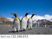 King Penguins (Aptenodytes patagonicus) on beach, St Andrews Bay, South Georgia Island, Southern Ocean, Antarctic Convergence. Стоковое фото, фотограф Ingo Arndt / Nature Picture Library / Фотобанк Лори